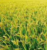 麦饭石在沙漠水稻种植中的应用探讨