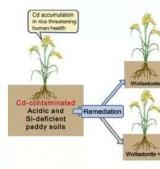 前沿 | 中科院华南植物园硅灰石抑制水稻镉吸收研究获进展
